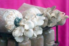 Culture de champignon s'élevant dans les fermes organiques image libre de droits