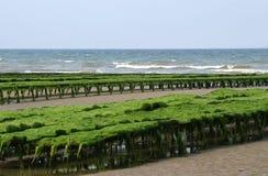 culture de dunes les牡蛎varreville 库存照片