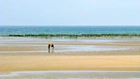 culture de dunes les牡蛎varreville 免版税库存照片