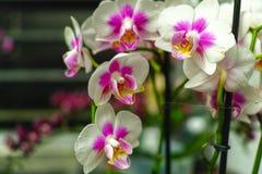 Culture de famille d'orchidée tropicale colorée d'usines fleurissantes image libre de droits