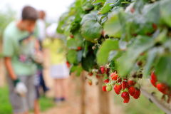 Culture de fraise de serre chaude Image stock