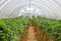 Culture de fraise de serre chaude Photos libres de droits