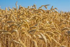 Culture de grain d'or de blé avec le fond naturel de ciel bleu Photos libres de droits