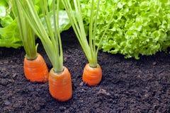 Culture de légumes dans le jardin Image libre de droits