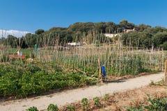 Culture de légumes dans un jardin Image libre de droits