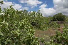 Culture de l'ingr?dient important de la cuisine italienne, plantation des pistachiers avec les pistaches de maturation pr?s de Br photo stock