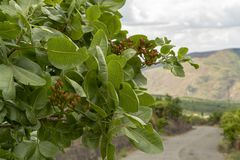 Culture de l'ingr?dient important de la cuisine italienne, plantation des pistachiers avec les pistaches de maturation pr?s de Br images libres de droits