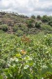 Culture de l'ingr?dient important de la cuisine italienne, plantation des pistachiers avec les pistaches de maturation pr?s de Br photographie stock