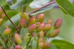 Culture de l'ingr?dient important de la cuisine italienne, plantation des pistachiers avec les pistaches de maturation pr?s de Br photographie stock libre de droits
