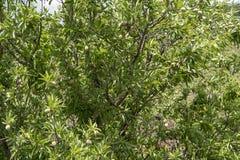 Culture de l'ingr?dient important de la cuisine italienne, plantation des pistachiers avec les pistaches de maturation pr?s de Br photos stock