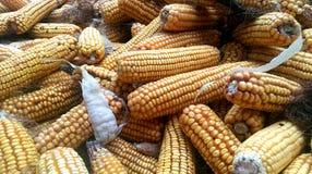 Culture de maïs Photo libre de droits