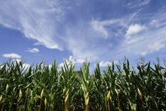 Culture de maïs Champ de maïs de champ images stock