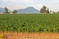 Culture de maïs de début de l'été Photo stock