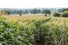 Culture de maïs de paysage Photographie stock