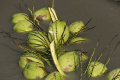 Culture de noix de coco, récolte photographie stock