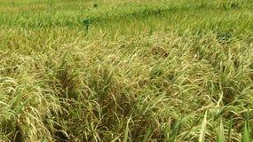 Culture de paddy photos libres de droits
