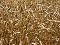 Culture de plein champ de blé Photos libres de droits