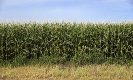 Culture de plein champ de maïs d'agriculteurs sous la marchandise de nourriture de produit de ciel bleu Images stock
