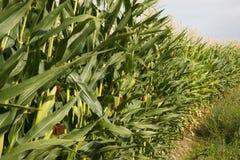 Culture de plein champ de maïs d'agriculteurs sous la marchandise de nourriture de produit de ciel bleu Photographie stock libre de droits