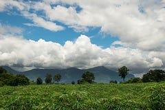 Culture de plein champ de manioc avec de beaux environs naturels Image stock