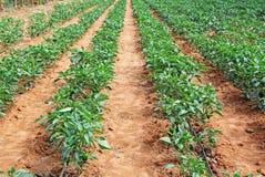 Culture de poivron dans l'Inde Photo libre de droits