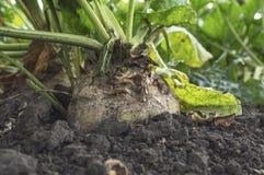 Culture de racines de betterave à sucre dans la terre prête pour la moisson image libre de droits