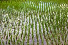 Culture de riz Images stock