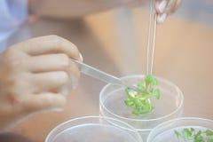 Culture de tissu d'atelier de découpe de scientifique dans la boîte de Pétri, exécutant photo stock