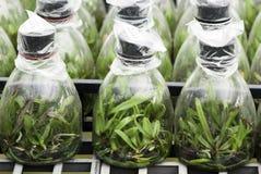 Culture de tissu d'orchidée Images stock