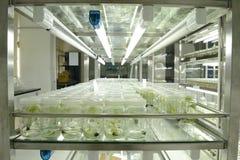 Culture de tissu végétal Image stock