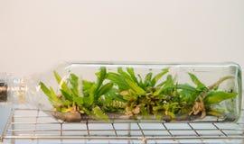 Culture de tissu végétal Photo stock