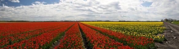 Culture de tulipe, Hollande Photographie stock libre de droits