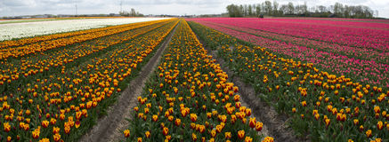 Culture de tulipe, Hollande Photos libres de droits