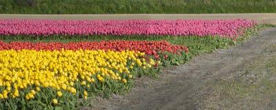 Culture de tulipe, Hollande Image stock