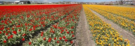 Culture de tulipe, Hollande Images stock