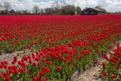 Culture de tulipe, Hollande Photographie stock