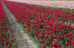 Culture de tulipe, Hollande Image libre de droits