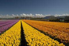 Culture de tulipe, Hollande Photo libre de droits