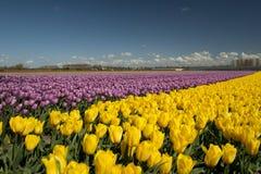 Culture de tulipe, Hollande Images libres de droits