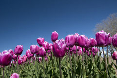 Culture de tulipe, Hollande Photos stock