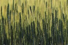 Culture dei campi del grano Immagine Stock Libera da Diritti