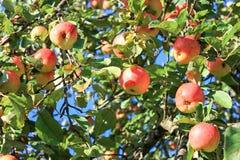 Culture des pommes mûres rouges sur un Apple-arbre dans le jardin Photographie stock libre de droits