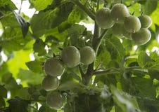 Culture des tomates Groupe de tomates-cerises non mûres Image stock