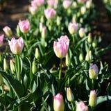 Culture et floraison de tulipe rose Stock Photo