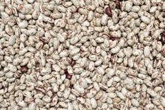 Culture fraîche de haricots de Phaséolus Photographie stock libre de droits