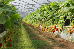 Culture in a greenhouse strawberry Royalty Free Stock Images