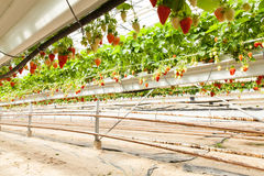 Culture in a greenhouse strawberry and strawberries Stock Images