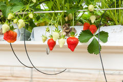 Culture in a greenhouse strawberry and strawberries Royalty Free Stock Photo