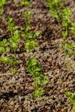Culture hydroponique cultivant la coriandre photo libre de droits