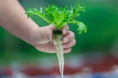 Culture hydroponique de main, légumes frais de participation organique image stock